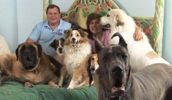 Neapolitan Mastiffs at Gentle Giants Rescue and Adoptions