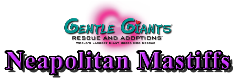 Neapolitan Mastiffs At Gentle Giants Rescue And Adoptions